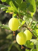 Some ripening gooseberries on the branch — Stock Photo