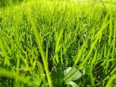 Close up of fresh thick grass with water drops in the early morning — Stock Photo