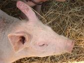 Big pig — Stock Photo