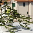 Olive branch — Stock Photo