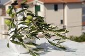 Olivová ratolest — Stock fotografie