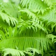 Polypody plant - Stock Photo