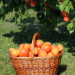 Basket of apricots — Stock Photo