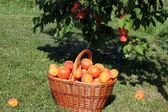 Basket of apricots — Stock Photo