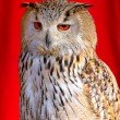 Stock Photo: EurasiEagle-Owl