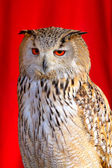 Eurasian Eagle-Owl — Stock Photo