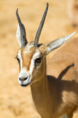 Antelope — Stock Photo