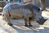 Rinoceronte enorme — Foto Stock