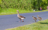 Goose family — Stock Photo