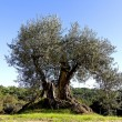 Stock Photo: Olive tree