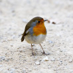Robin bird — Stock Photo #9266828