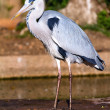 Gray heron - Stock Photo