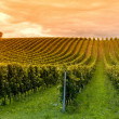 Stock Photo: Viticulture