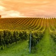 Viticulture — Stock Photo #9764657