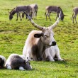 Stock Photo: Grey bulls family