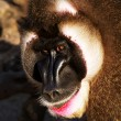 Mandrill — Stock Photo #9852082