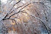 Winter forest at sunset — Stock Photo