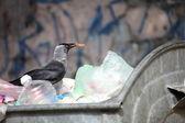 在垃圾堆上的鸟 — 图库照片