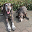 Senior pointer sisters, german shorthaired pointers — Lizenzfreies Foto