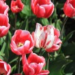 Pink tulips growing on a fiield — Stock Photo #10361200