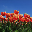 Red tulips with a touch of yellow on a field — Stock Photo #10361361