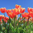 Red tulips with a touch of yellow on a field — Stock Photo #10361391