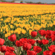 Yellow and red tulips on a field - 
