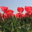 Pink tulips growing on a fiield — Stock Photo #10361809