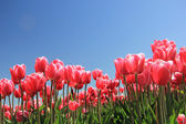 Pink tulips in sunlight — Stock Photo