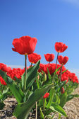 Red tulips on a field — Foto Stock