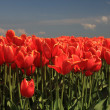 Red tulips with a touch of yellow on a field — Stock Photo