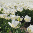 Stock Photo: White tulips in the sun