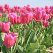 Stock Photo: Purple pink tulips in the sunlight