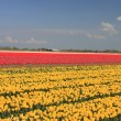 Tulips in various colors on a field — Stok fotoğraf