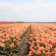 Pink yellow tulips on a field — Foto Stock