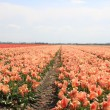 Pink yellow tulips on a field — Lizenzfreies Foto