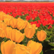 Yellow and red tulips on a field — Stock Photo #10376087