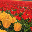 Yellow and red tulips on a field — Stock Photo #10376137