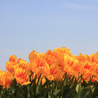 Yellow tulips with a touch of red — Stock Photo #10376446
