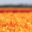 Yellow tulips with a touch of red — Stock Photo #10376526