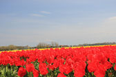 Red tulips on a field — Stock Photo