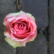 Close up of big pink rose on pavement — Stock Photo
