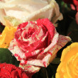 Multicolored red and white rose — Lizenzfreies Foto