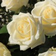 Big white roses — Stock Photo
