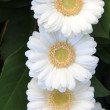 White gerberas — Foto Stock