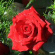 Wet red rose in the sunlight — Stock Photo