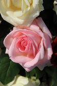 Big pink rose — Stock Photo