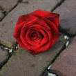 Single red rose on the pavement — Foto Stock