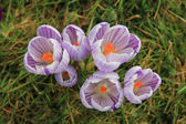Group of purple white crocus in grass — Stock Photo