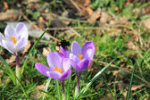 A couple of crocuses — Stock Photo